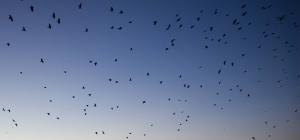Drone contra păsărilor care au cuib lângă aeroporturi